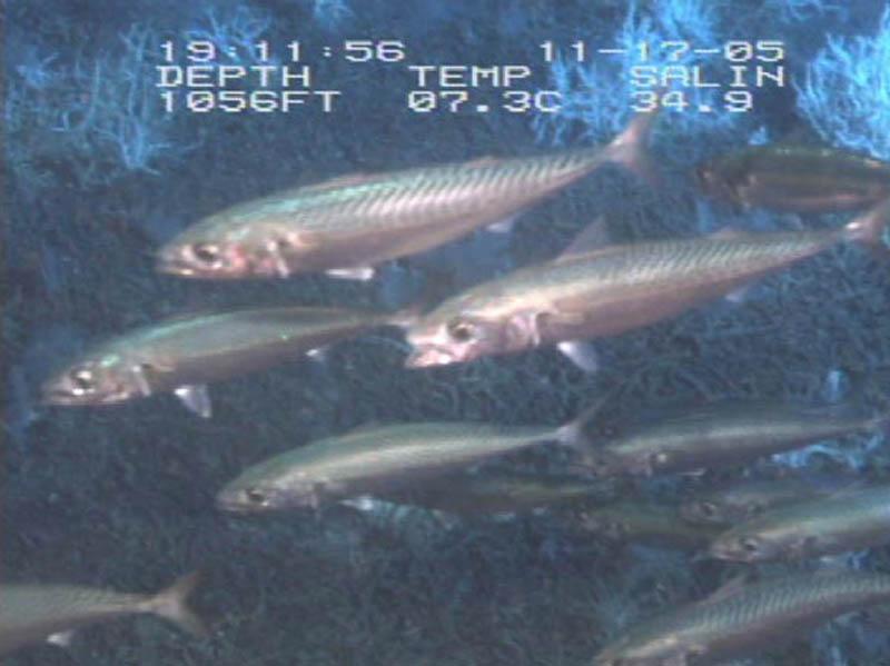 A school of mackerel swimming together amongst the dark for Ocean explorer fishing